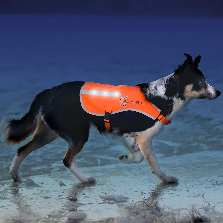 A dog wears the Illumiseen LED Dog Vest