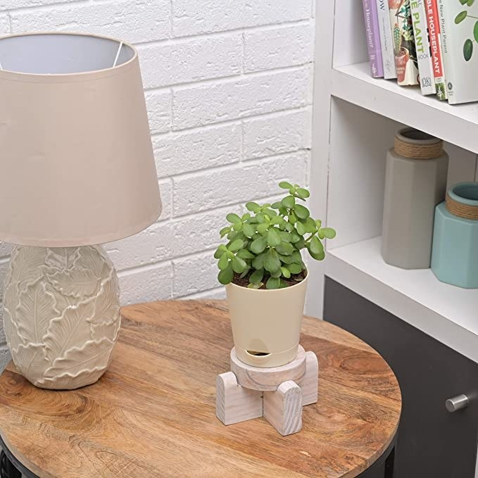 Jade plant in a white pot