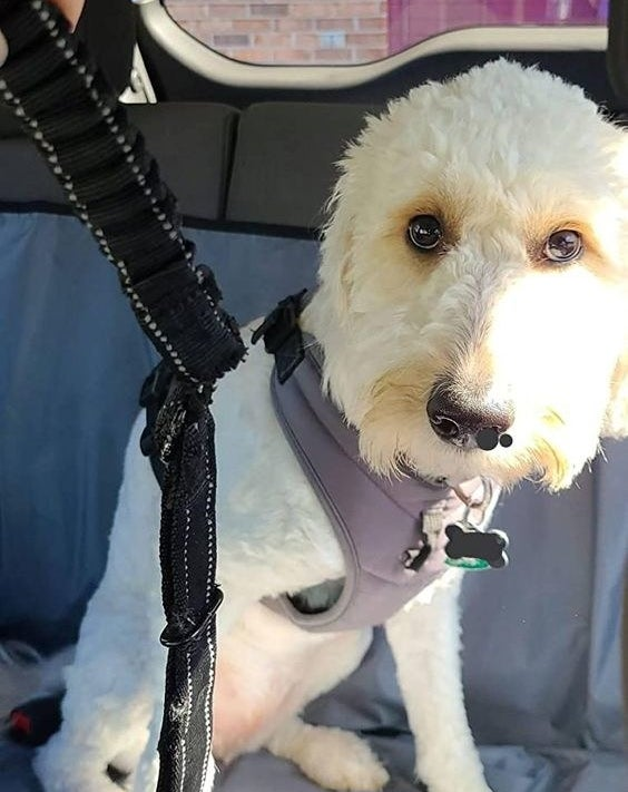 Reviewer's dog strapped in with the harness in the backseat