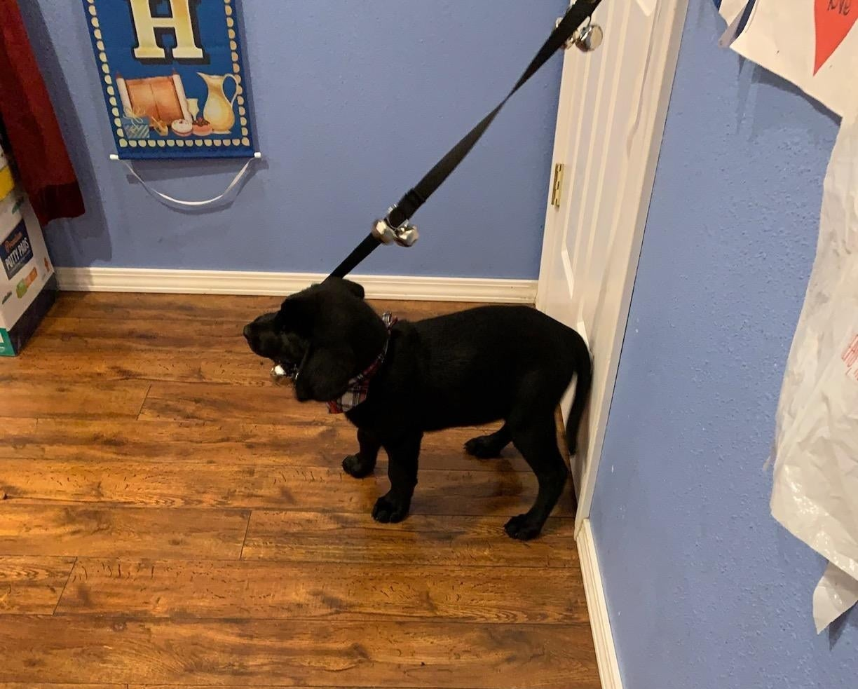 A puppy tugging on the rope hanging from a doorknob