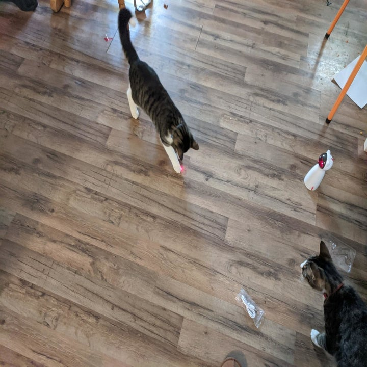 Cats chase the red laser dot emitted by the toy