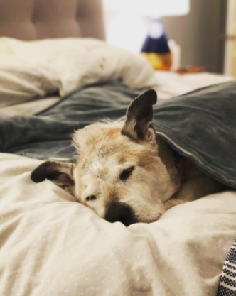 reviewer pic of a senior dog sleeping soundly under a weighted blanket