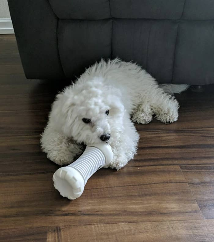 A dog is holding a white smart bone toy