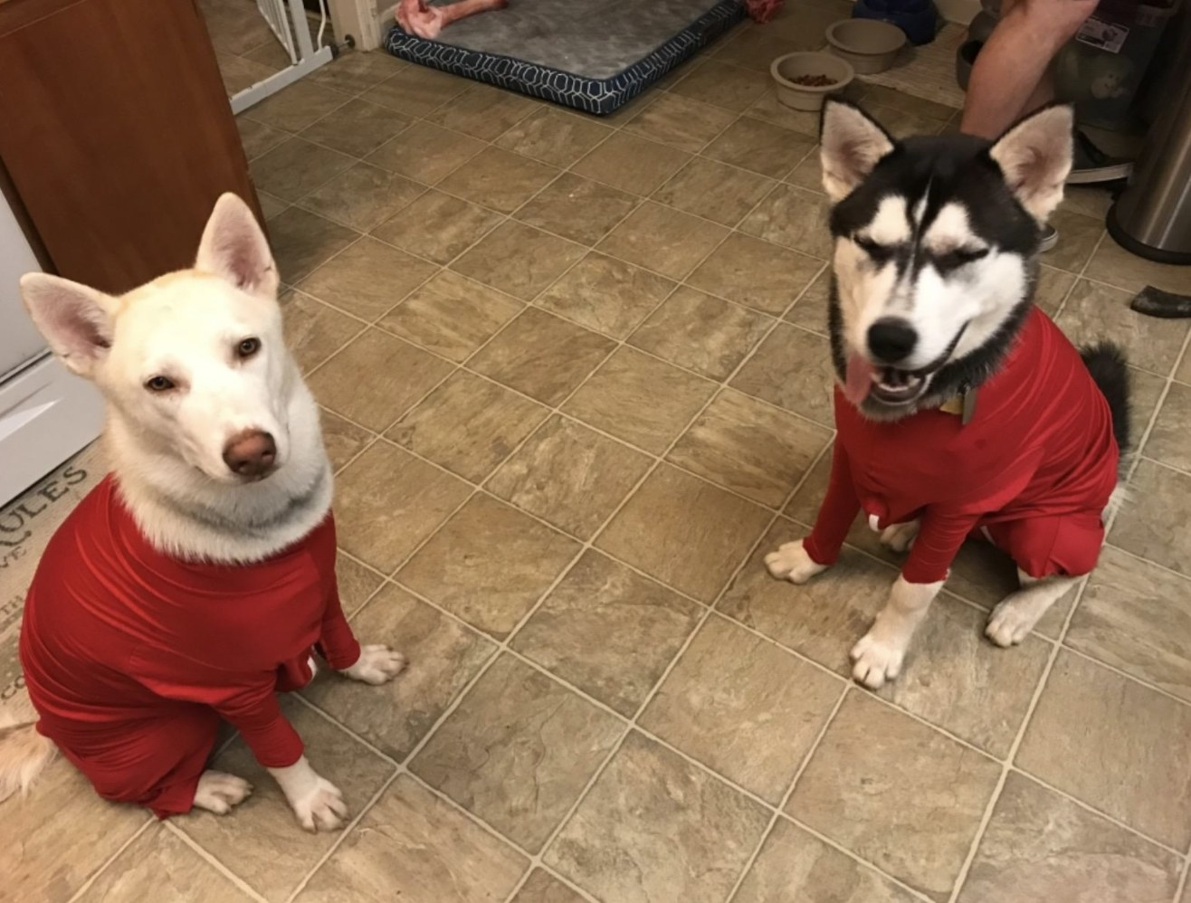 Two dogs wearing red bodysuits
