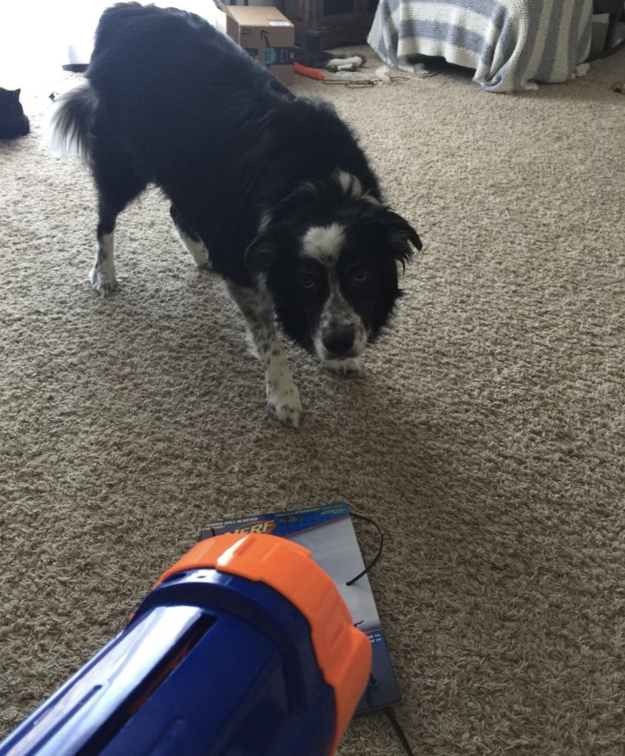 A dog is starting at a nerf ball launcher