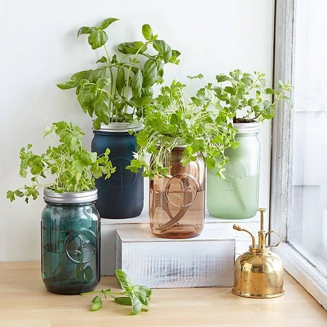 Several different-colored mason jars with herb plants sprouting from the tops