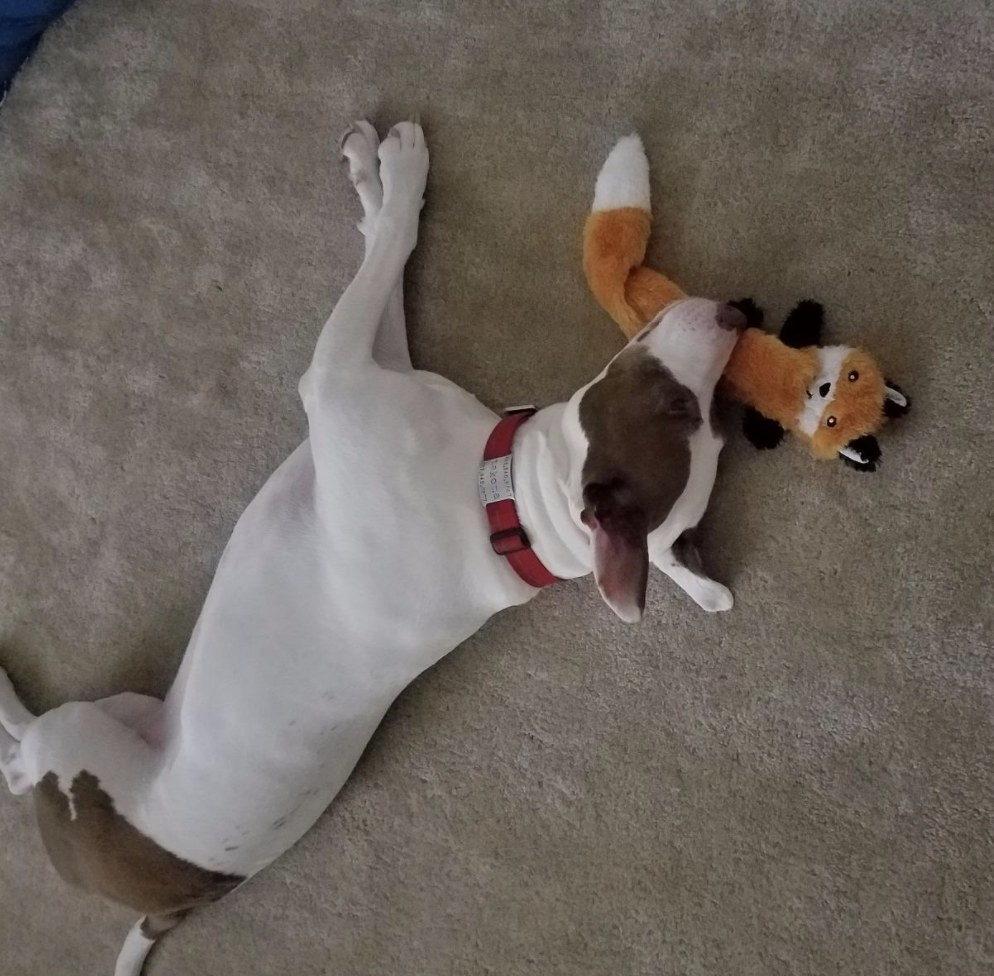 Dog is sleeping with their fox toy with no stuffing