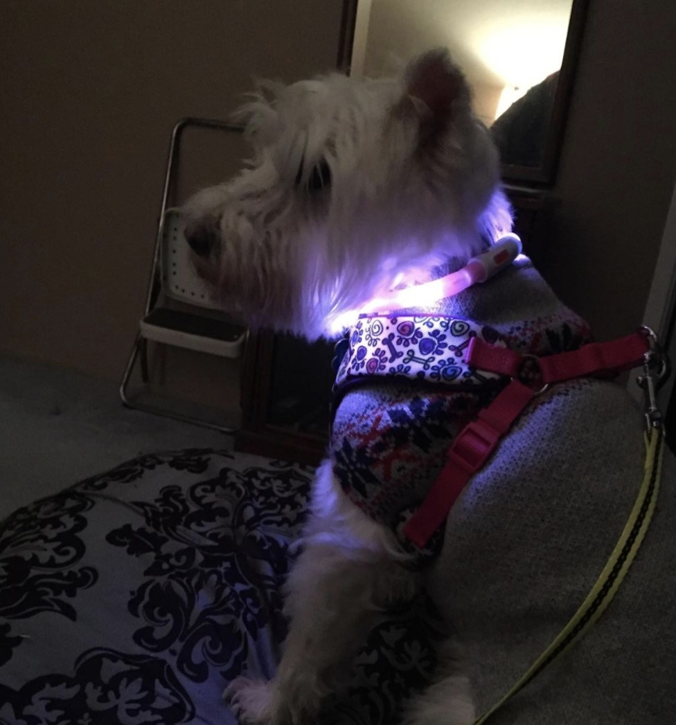 A dog is sitting on a couch wearing an LED collar lit up