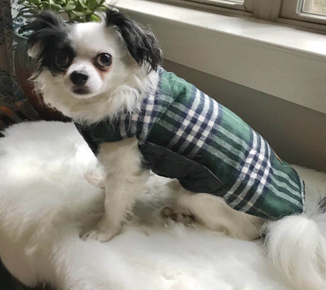 Dog is wearing a green plaid vest