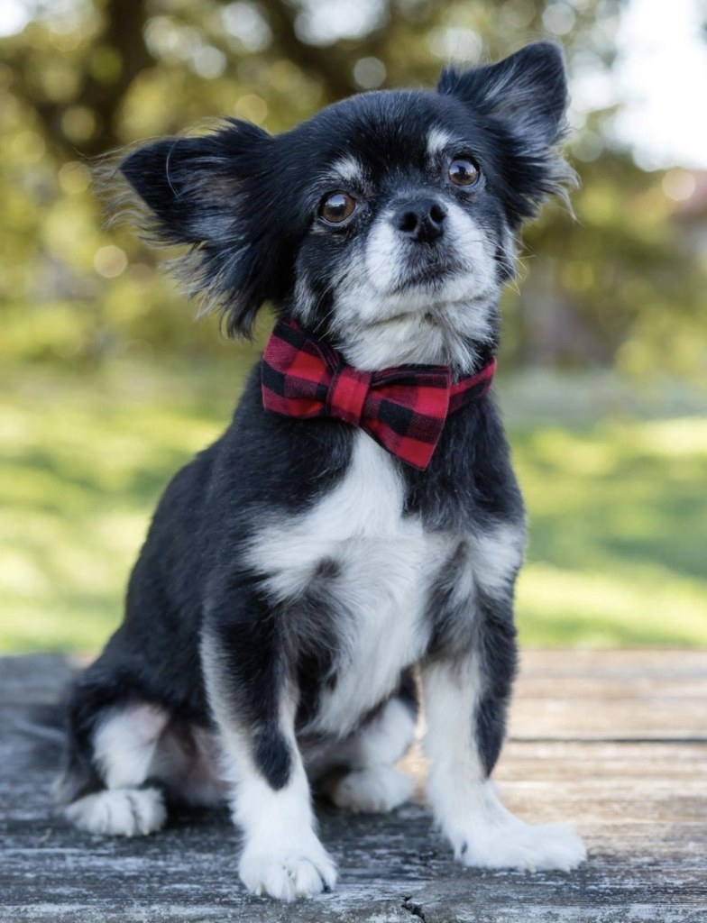 A small dog wearing a red plaid bow tie collar