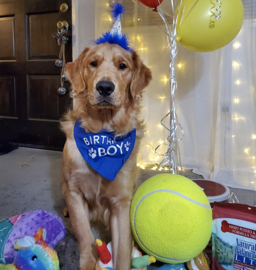 Dog sits in birthday hat next to giant tennis ball