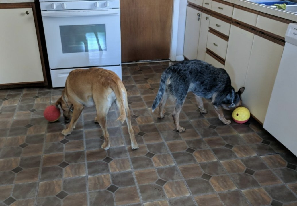 Two dogs playing with treat-dispensing balls