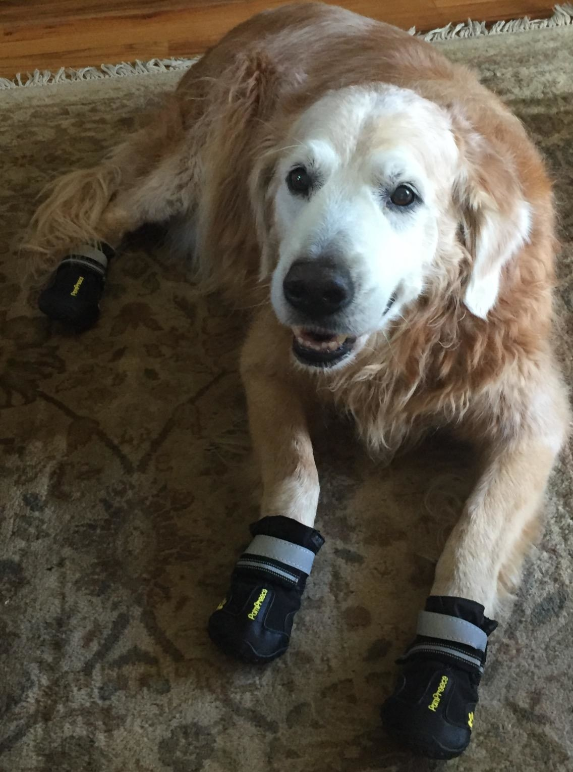 reviewer image of a dog wearing the qumy dog booties