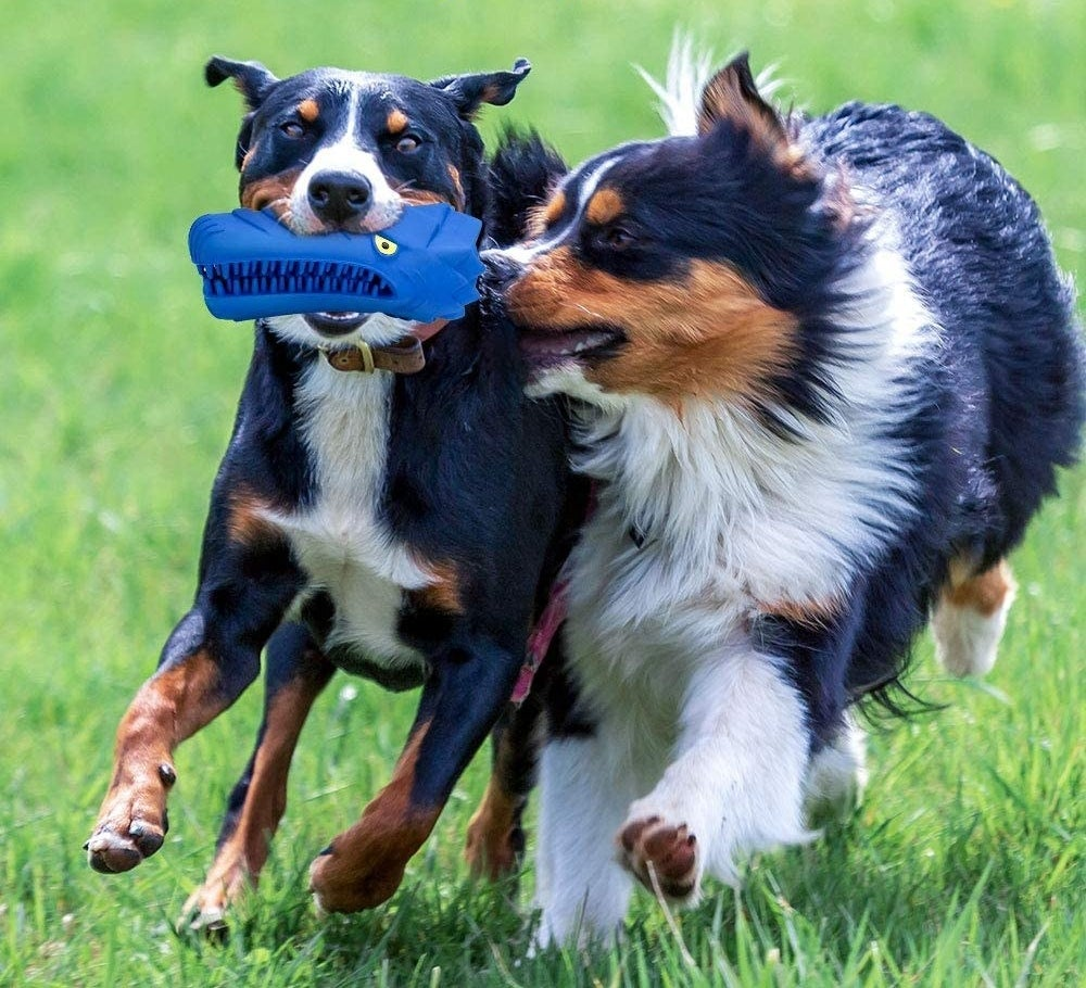 two dogs fight over the blue dog chew toy and toothbrush