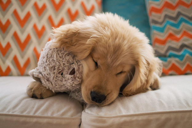 Dog on couch holding stuffed animal.