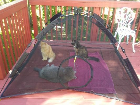 Three cats in the tent