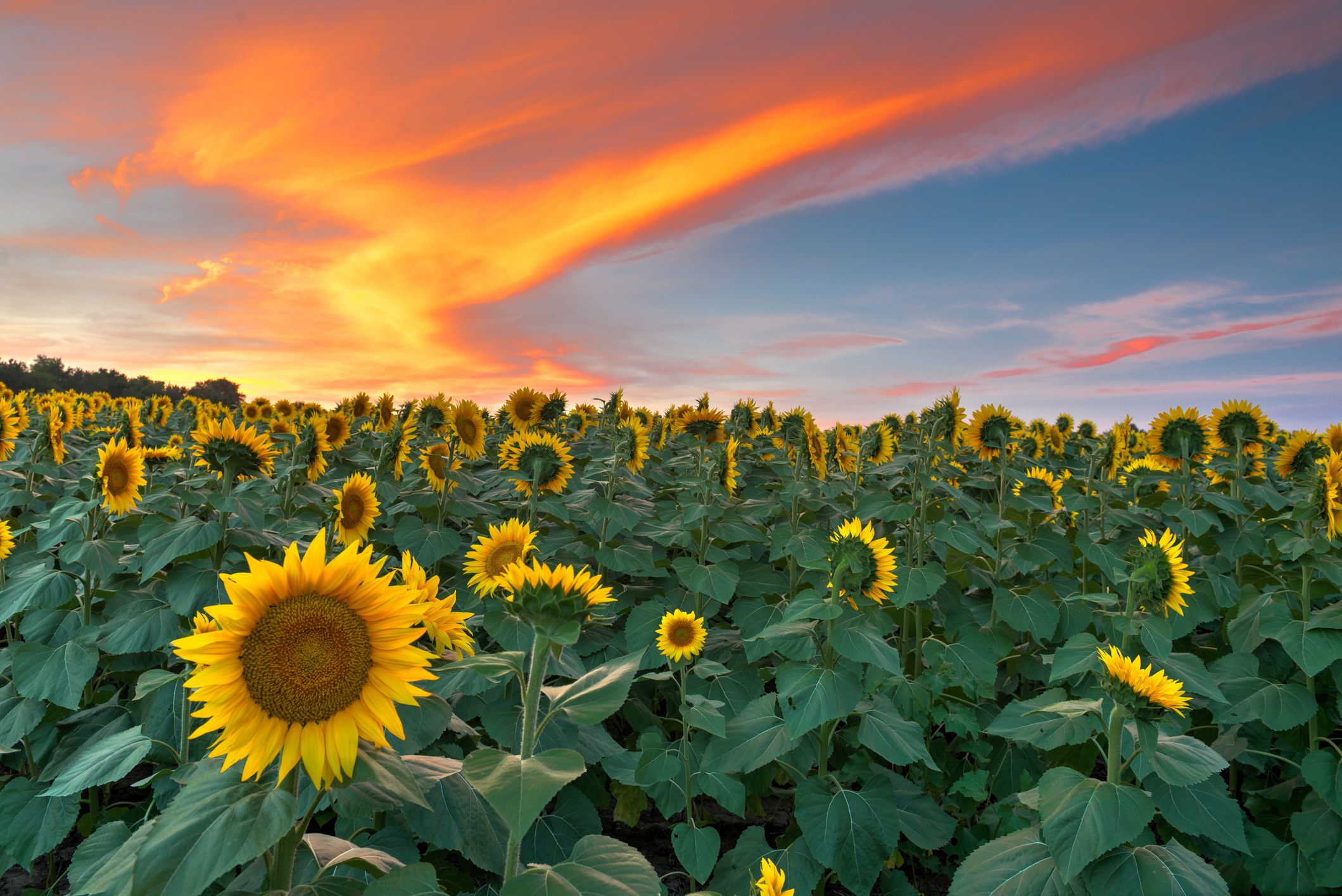 A cloudy sunset over a field of sunflowers
