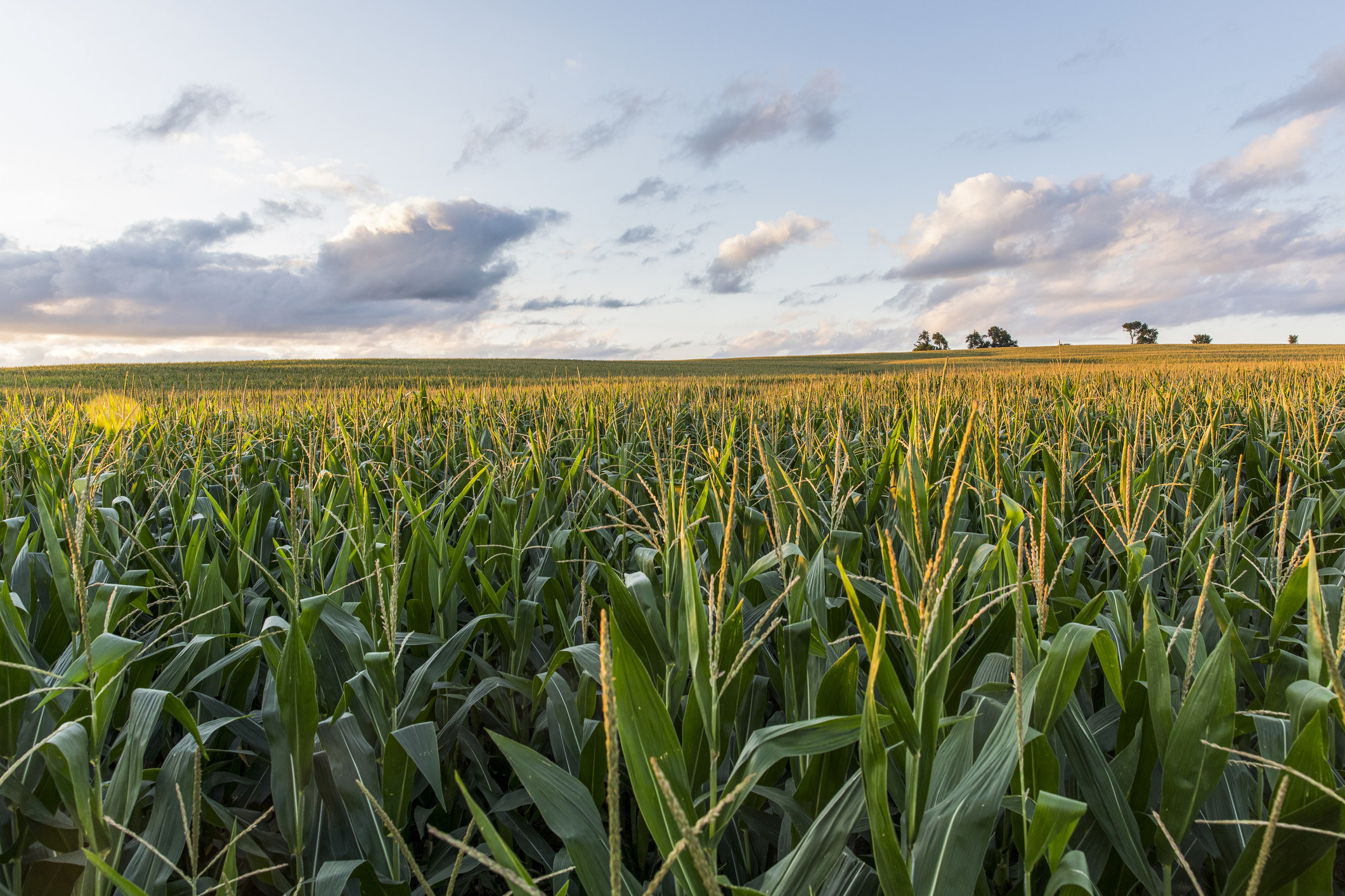 A cloudy sky over cornfields