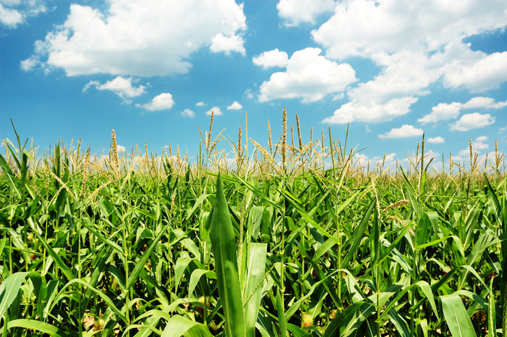 Close up of a corn field under a blue sky with a few clouds