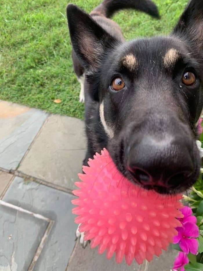 Major with a toy in his mouth