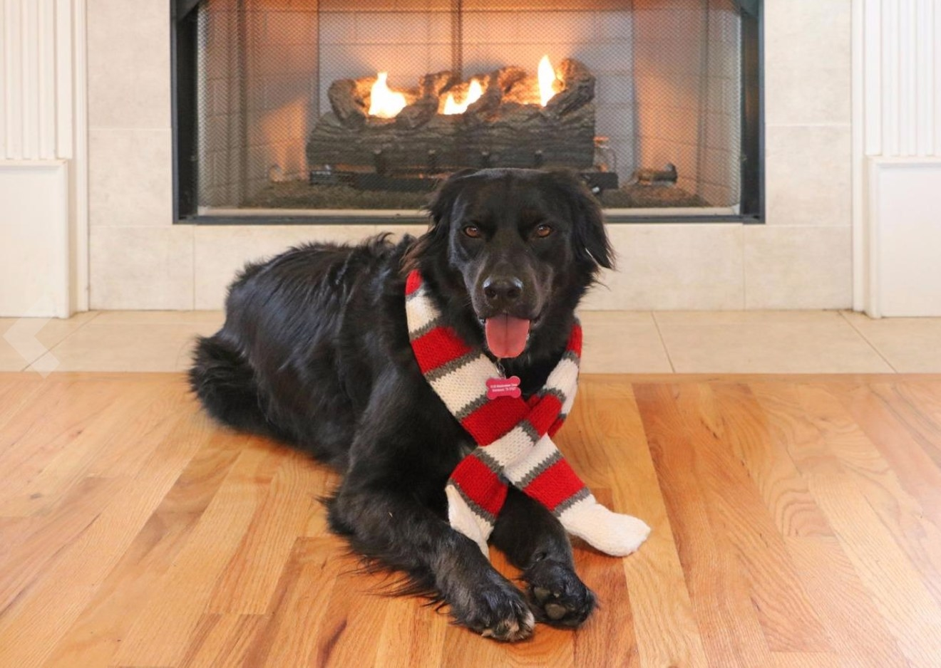 Dog wearing the red and white striped knit scarf