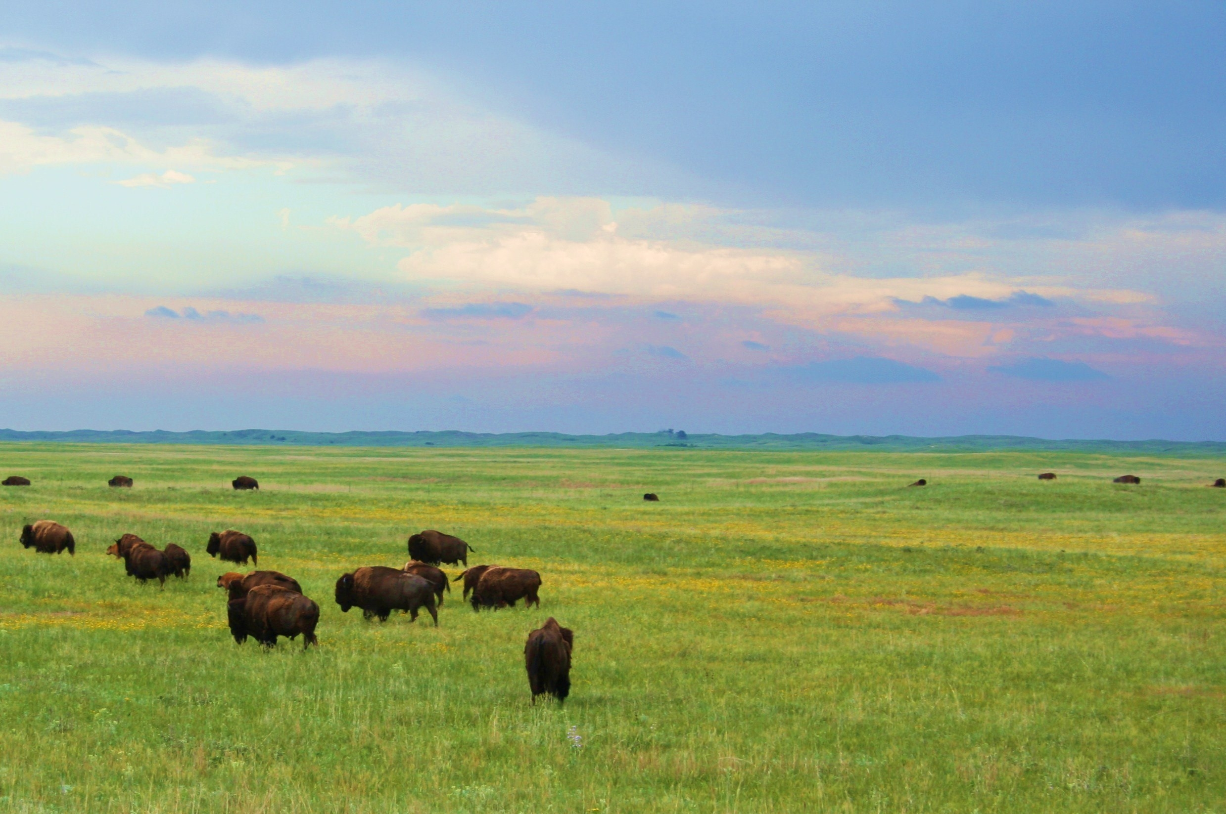 A green field full of buffalo under a blue, pink, and cloudy sky