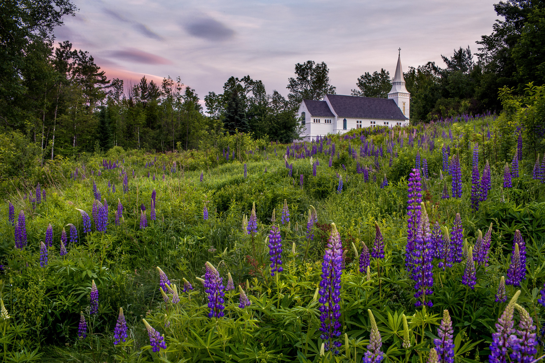 A field of purple lupine flowers leading up to an old-fashioned white building under a twilight sky