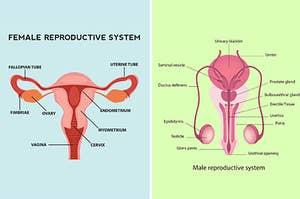 并排侧雌性和雄性生殖系统图
