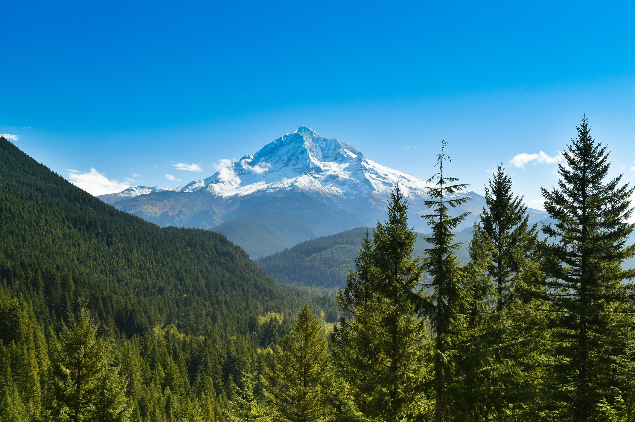 Snow capped Mt. Hood extends out of hills of dark green trees into a blue, cloud-less sky