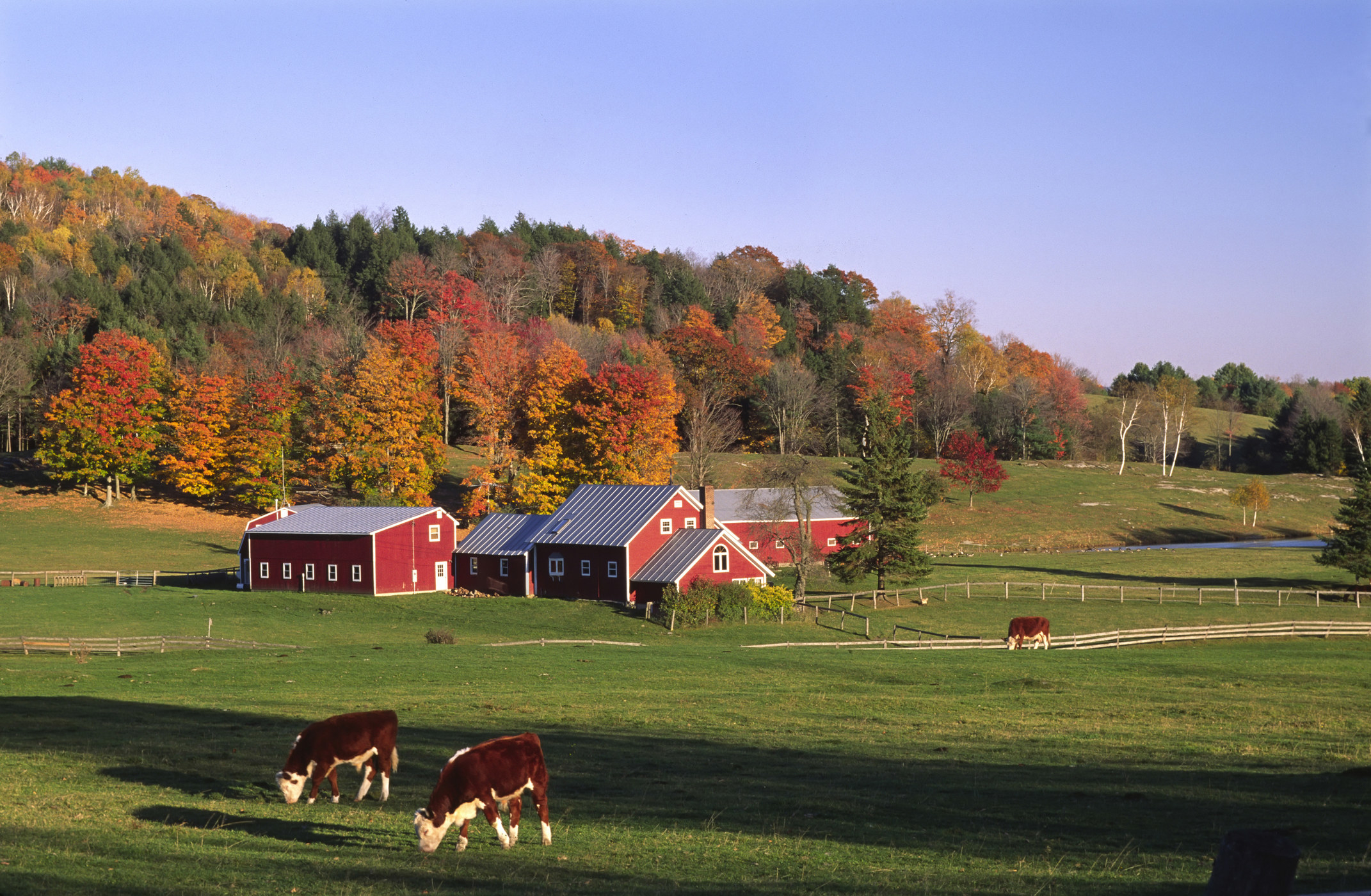 A red barn sits on green grass with autumnal trees in the background and two cows grazing in the foreground