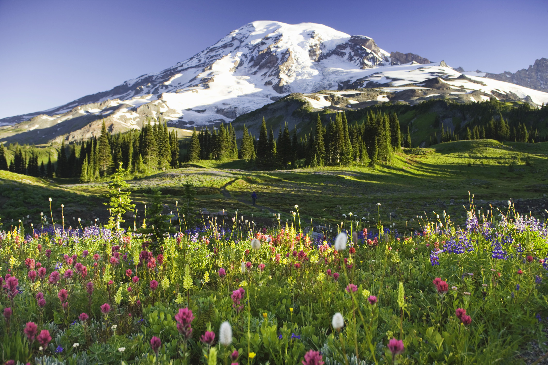 Snow capped Mt. Rainier rises into a blue sky with greenery and wildflowers in the foreground