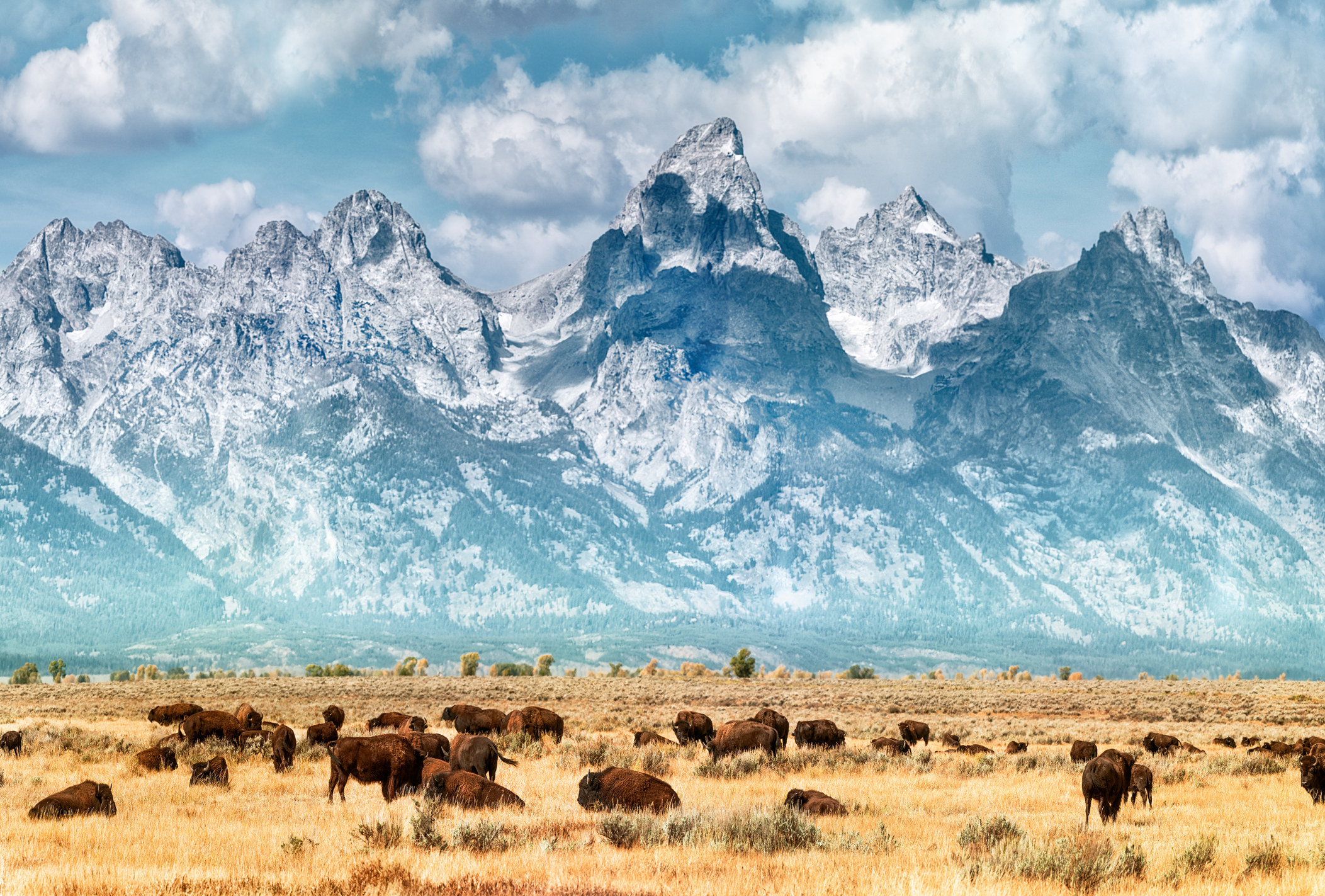 Buffalo graze on a prairie in the foreground while the snowcapped Grand Teton Mountain Range juts out in the background