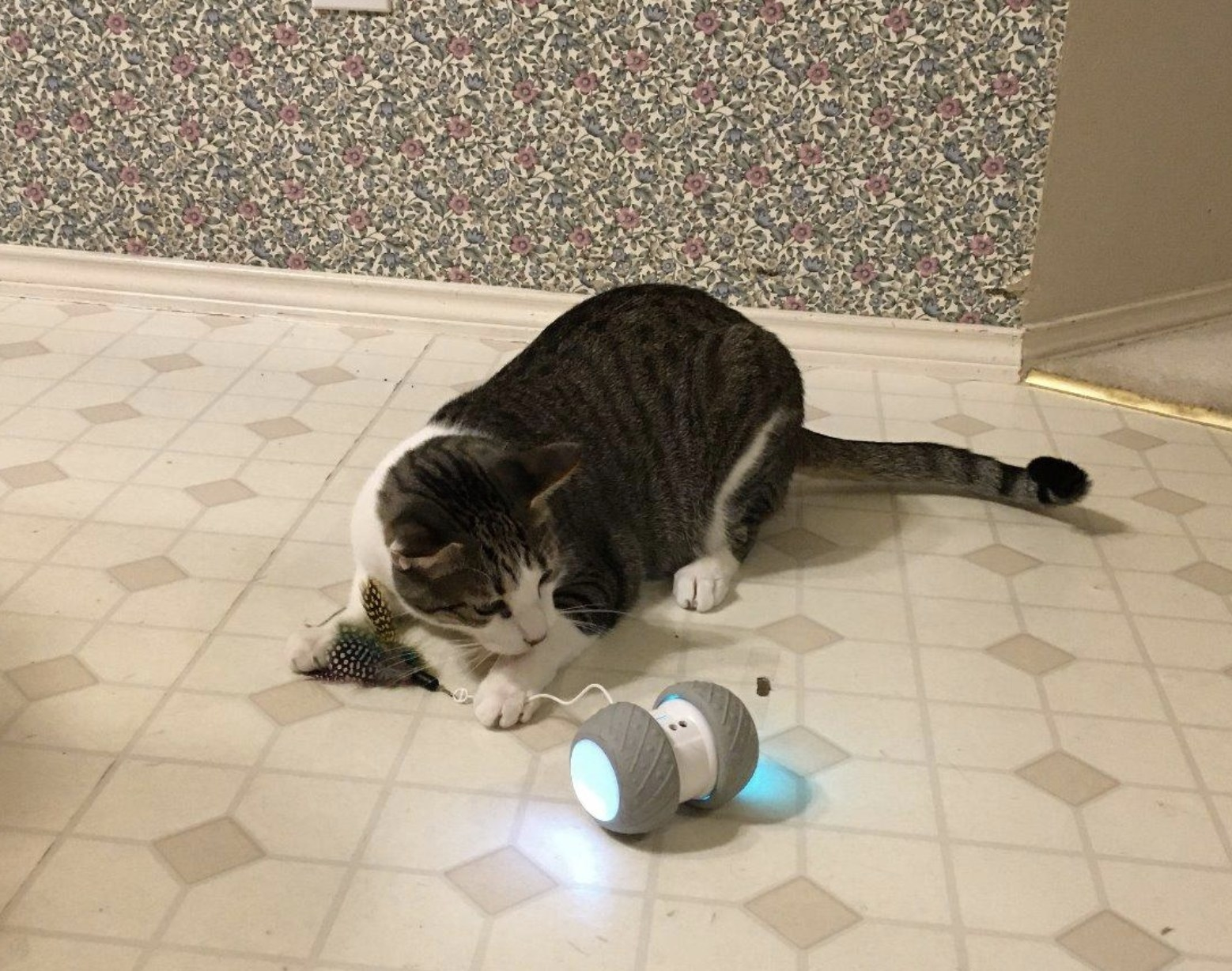 A striped cat wth white paws holding onto the feather attachment of a robotic toy
