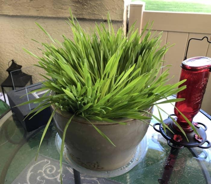 a pot overgrown with cat grass