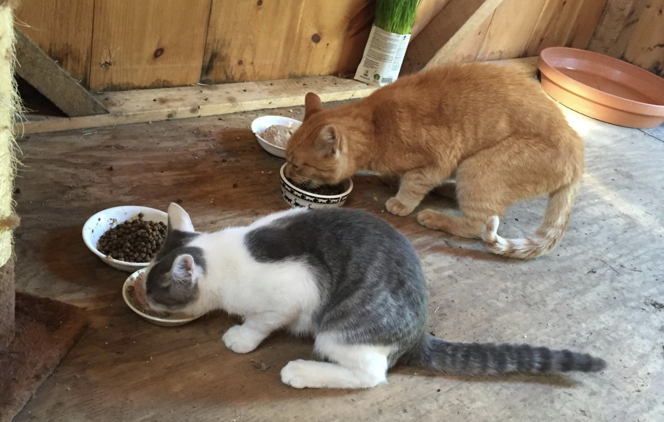 two cats in a barn eating dry food