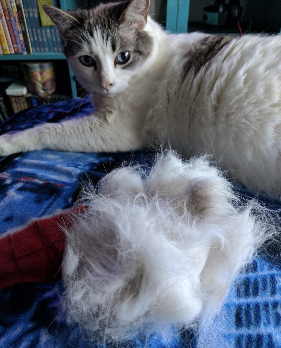 A white and grey cat sitting next to a huge ball of fur