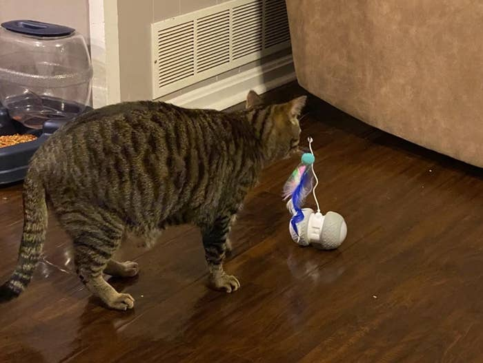 The reviewer's cat with the electric toy