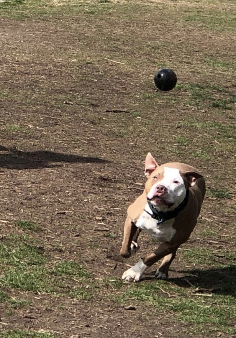 A dog chasing the ball in mid-air