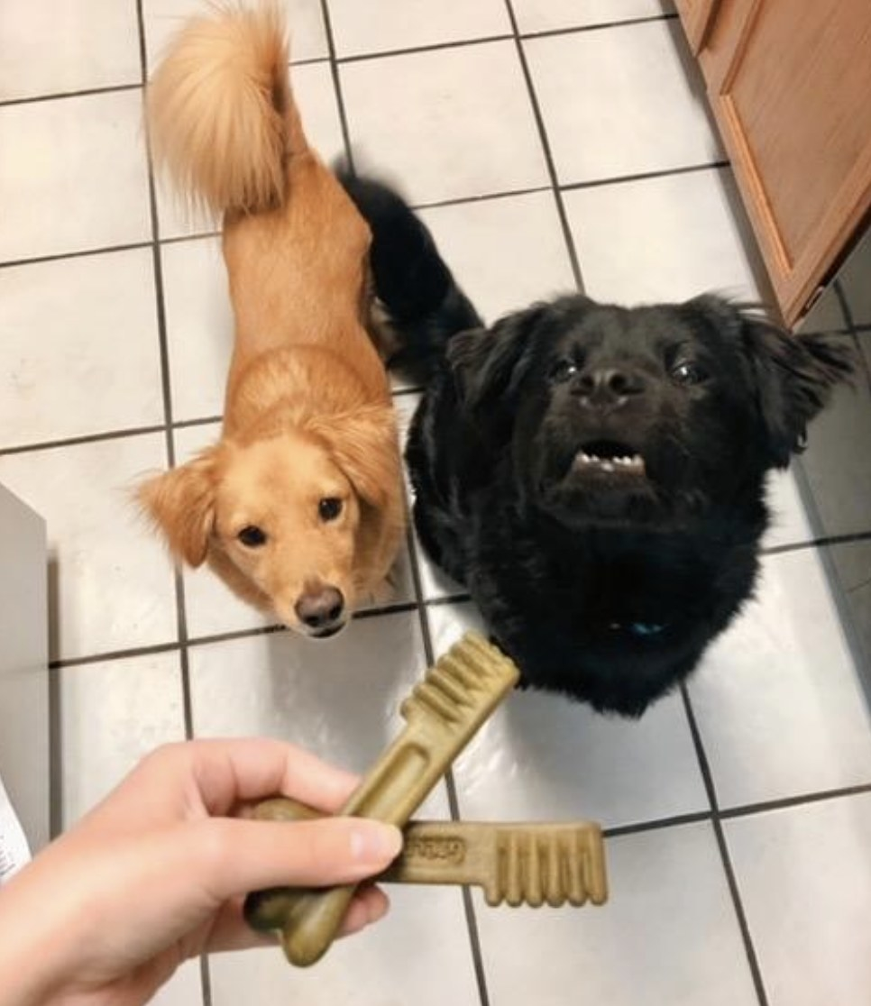 A person is holding two dental treats in front of two dogs