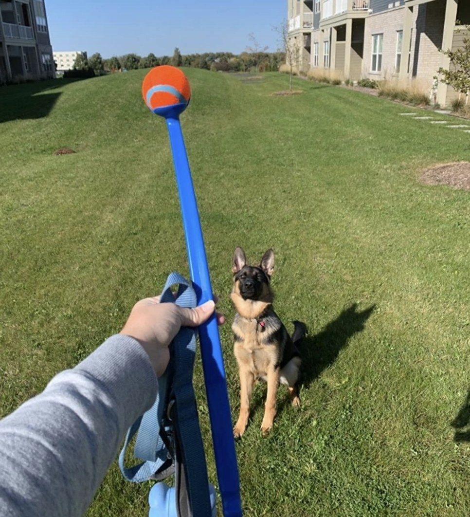 A dog starting at a person holding a ball launcher