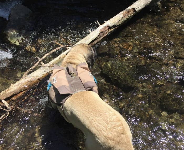 A dog in a river wearing a dog backpack