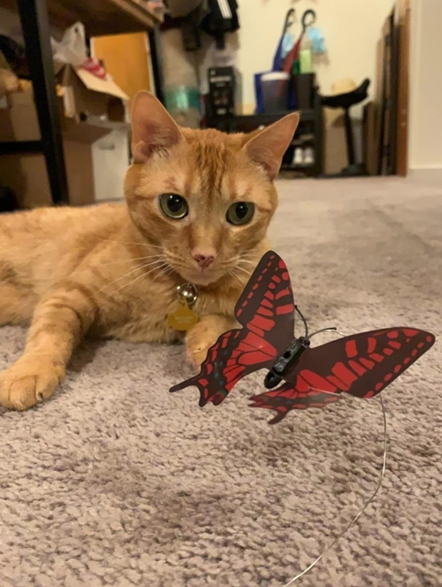 The reviewer's cat with the butterfly cat hunting wand