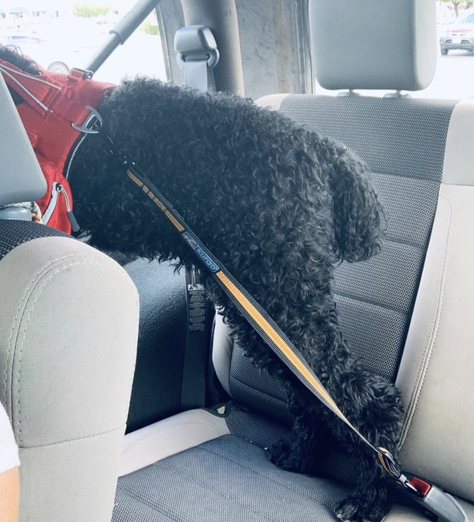 Reviewer photo of a dog looking out the window of a car while being tethered to a seat belt