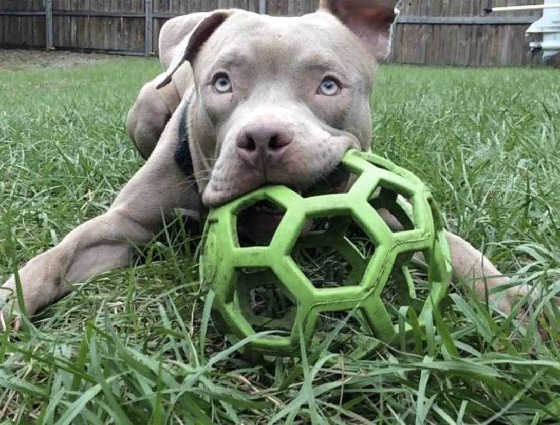 A dog biting a rubber ball