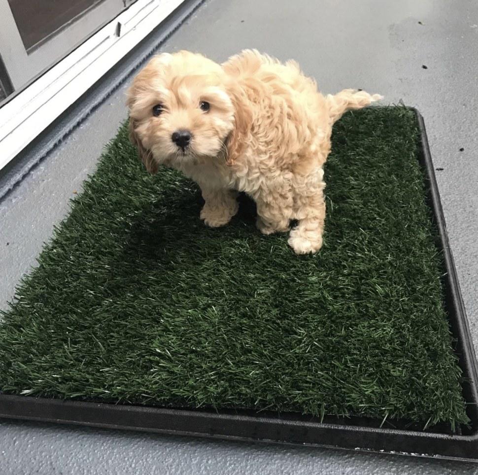 A dog using the artificial grass bathroom mat