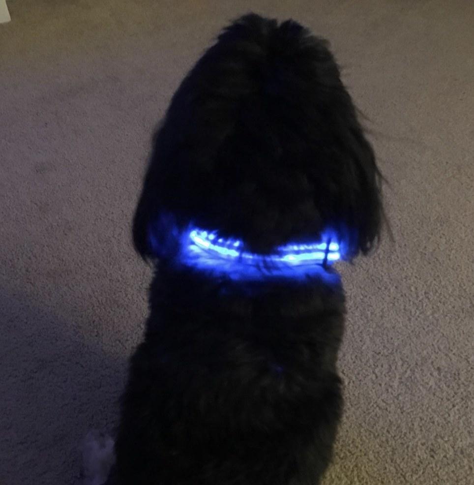 A dog wearing an LED blue collar