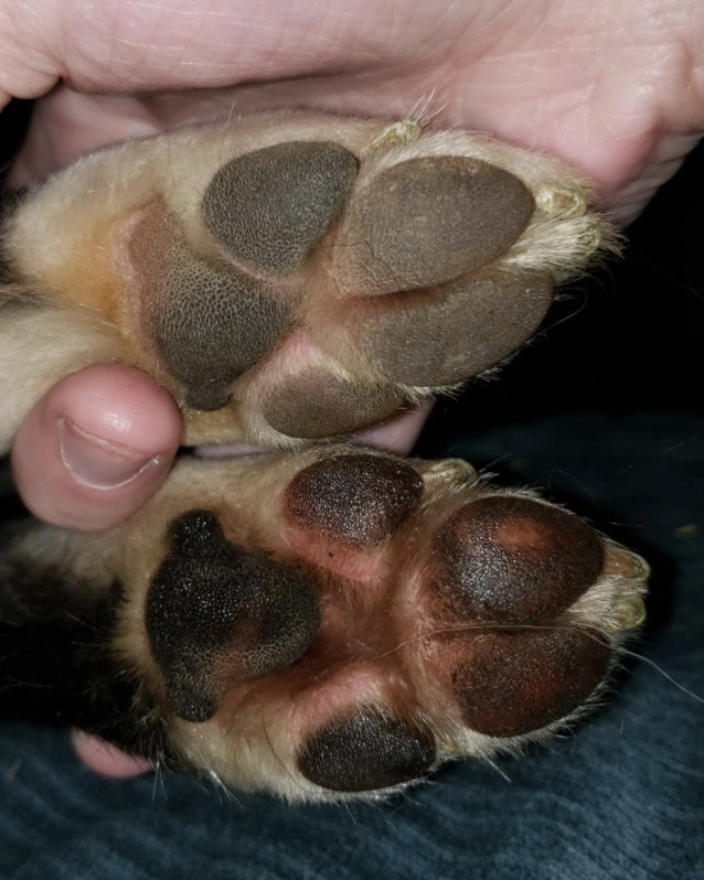 A before and after of a dog's front paws