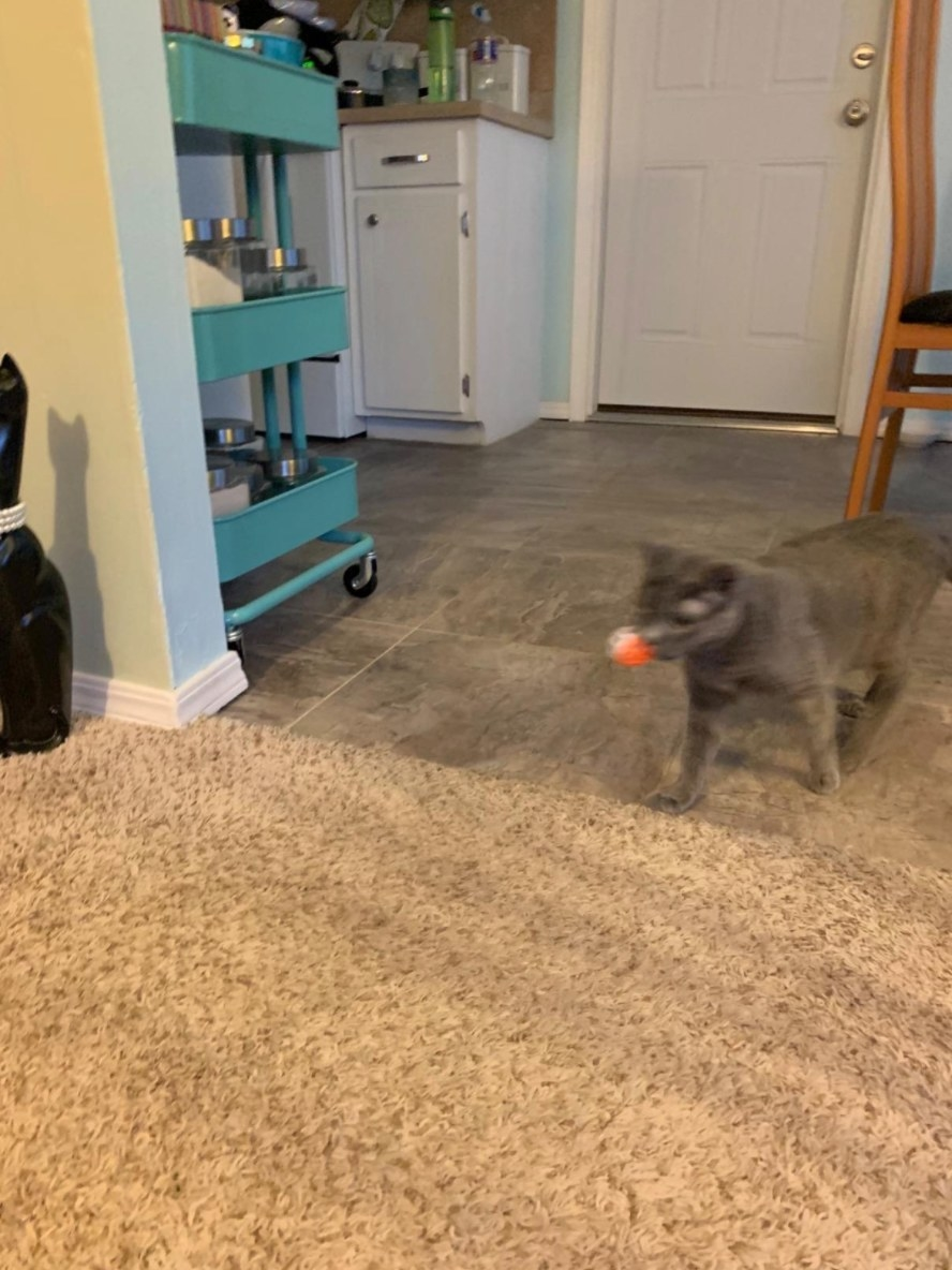 The cat toy ball being carried back the reviewer's cat