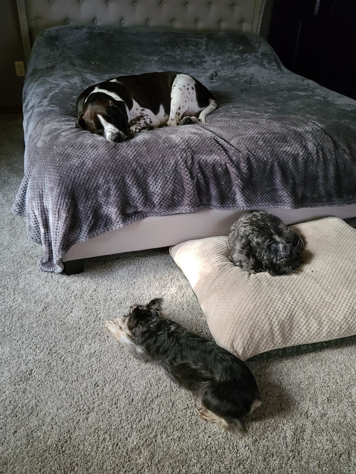 Three dogs, resting after eating the chews