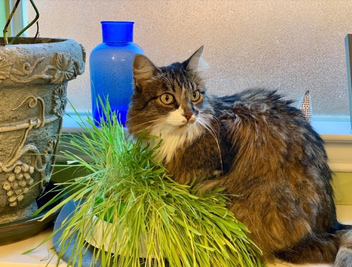 a long haired cat sitting on a grass planter